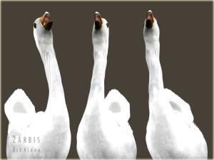 Gavage geese